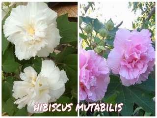 pokok bunga hibiscus mutabilis