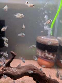 Oscura heterospila Montecristo cichlid fry fish