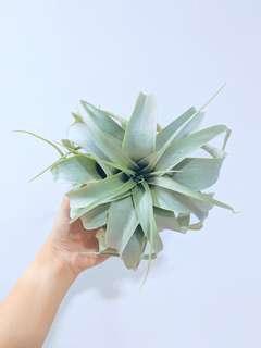 King of Air Plants: Tillandsia Xerographica {cute heart shaped avail!}  (15cm Diameter)