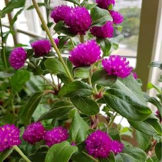 Plant for Sale - Globe amaranth