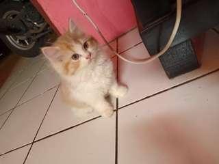 Kucing kitten