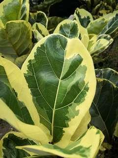 Rare Variegated Ficus Lyrata