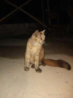 Kucing Anggora Rumahan