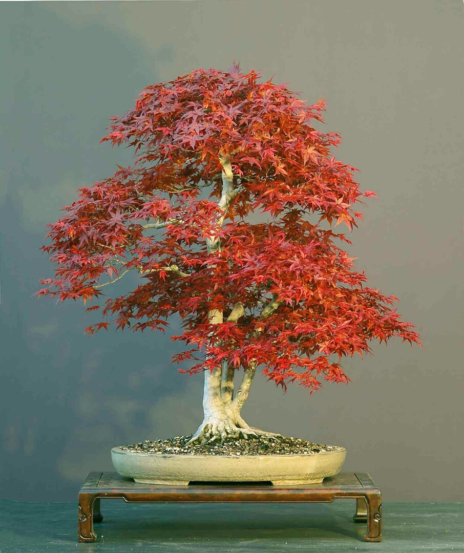 Seeds Japanese Red Maple Bonsai Seeds X 20 Gardening Plants On