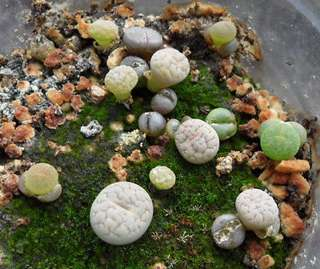 Lithops Seeds with free kits