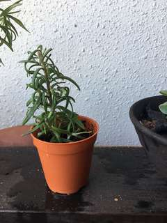 Rosemary Plant for Sale