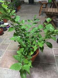 Mulberry plant fruiting
