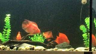 Red Parrot fish for adoption