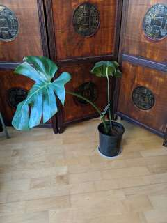 Monstera plants