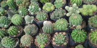 1+1 cactus plants