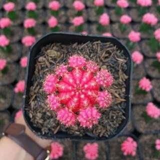 Kaktus Pink Impor