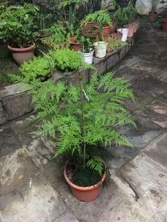 Super fine fern tree