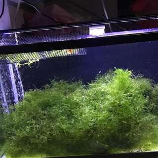 Subwassertang Plant