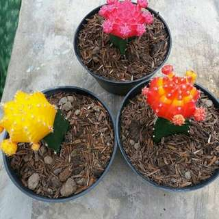 Kaktus Warna 3 Pcs