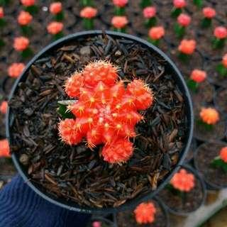 Kaktus Impor Orange