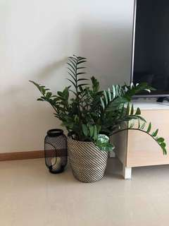 Plants - Three plants from IKEA - ZAMIOCULCAS