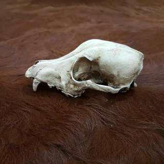 🚚 Canine resin skull