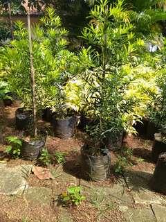 tanaman lohansung tinggi 1 meteran kurang lebih wa 085831913163