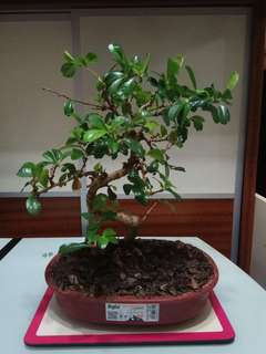植物 盆裁 福建茶 盆景  Small-leaved Carmona/ Fukien Tea Bonsai