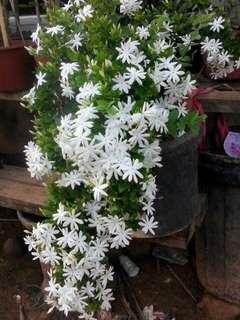 Pokok angel hair jasmine
