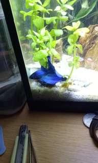 Ikan Cupang Biru Halfmoon