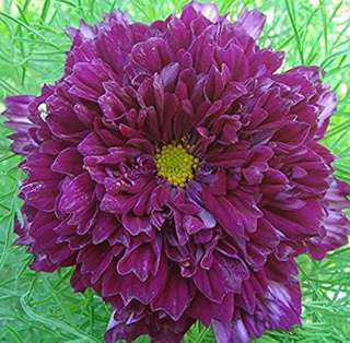 Mix Double Purple Flower Cosmos Bipinnatus Coreopsis Seeds