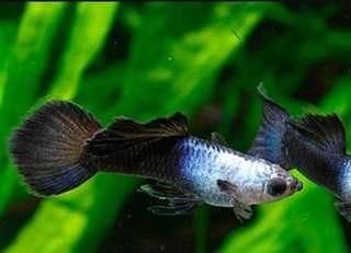 🚚 熊貓孔雀魚
