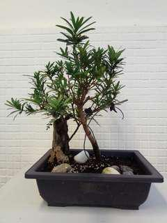 植物 盆裁 羅漢松盆景 Yaccatree bonsai