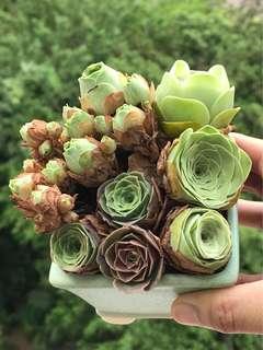 山地玫瑰 - 多肉植物 Succulent