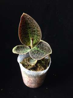 Dossinia marmorata (Jowel Orchid species)