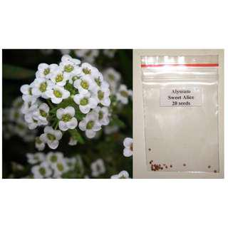 Alyssum Sweet Alice Flowers Seeds - Fragrant