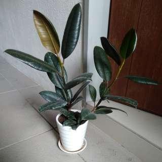 Ficus elactica
