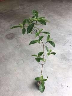 "Herb Plant - ""Black Face General"""