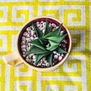 Haworthia Fasciata Succulent