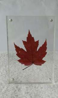 Maple leaf in a frame