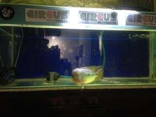 Set aquarium dan ikan louhan kamfa f2 ukuran kurang lebih 13cm
