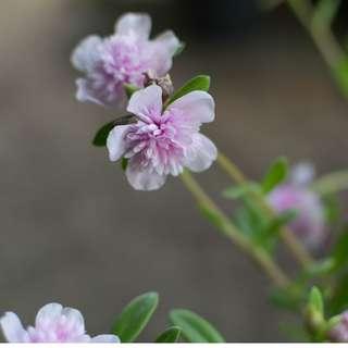 Ros Jepun Jambul Pink Stripe / Pink Stripe Japanese Rose