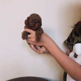 OPEN BOOKING Toy Red Poodle