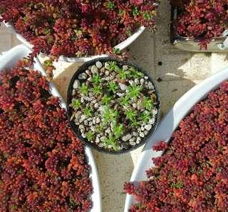 Succulent - Portulaca Gilliesii
