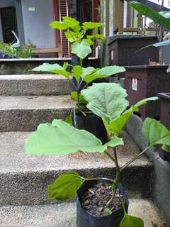 Pokok Sayur Terung Panjang