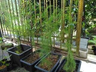 Pokok Sayur Asparagus