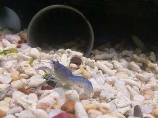 🚚 佛羅里達藍螯蝦