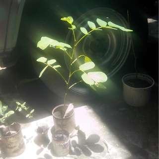 ACapulco seedlings