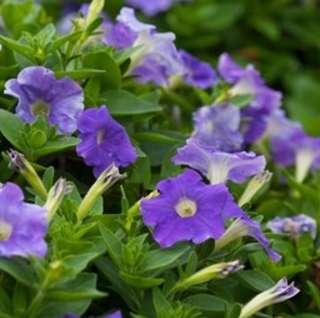 Light Purple Heirloom Petunia Seeds