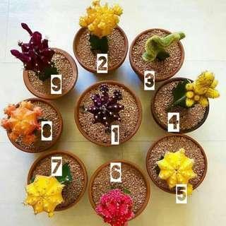 Kaktus Impor Korea