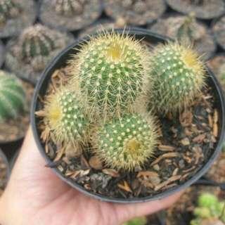 Kaktus Barel Cluster