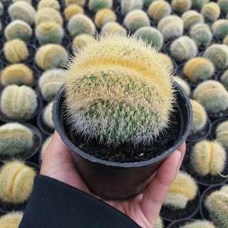Kaktus Bulan
