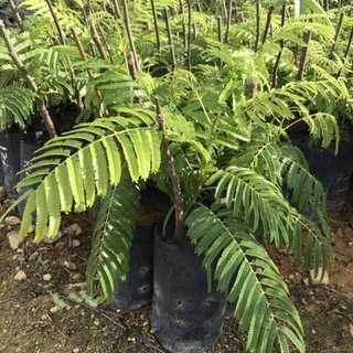 Pokok Petai Hybrid