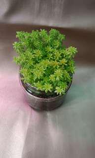 Succulent plant whole pot for sale