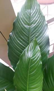 Giant Peace Lilly